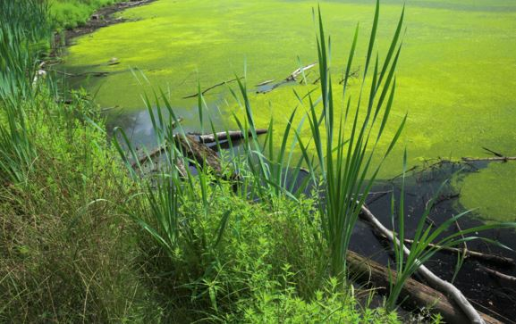 Kasco Marine Algae in a Pond
