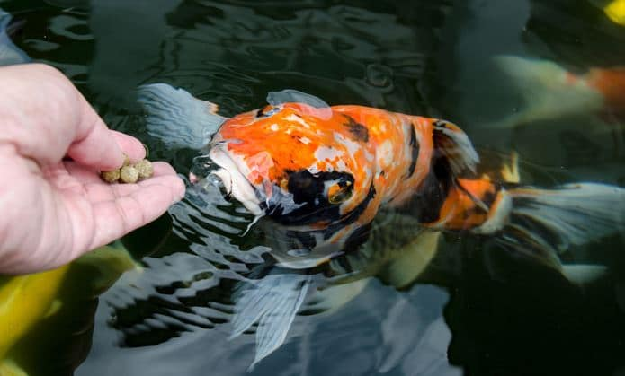 Proper fish feeding improves growth rates kasco marine for Koi feeding